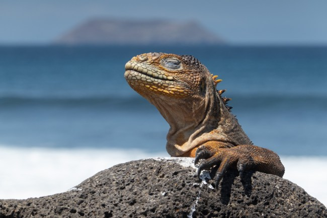 Best Camera Gear for the Galapagos Islands - RX100 VII - Yellow Land Iguana, North Seymour Island