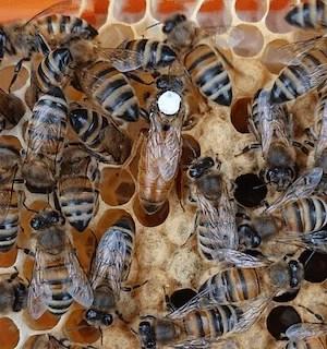 Buckfast Queen Bee For Sale | VSH queens for sale