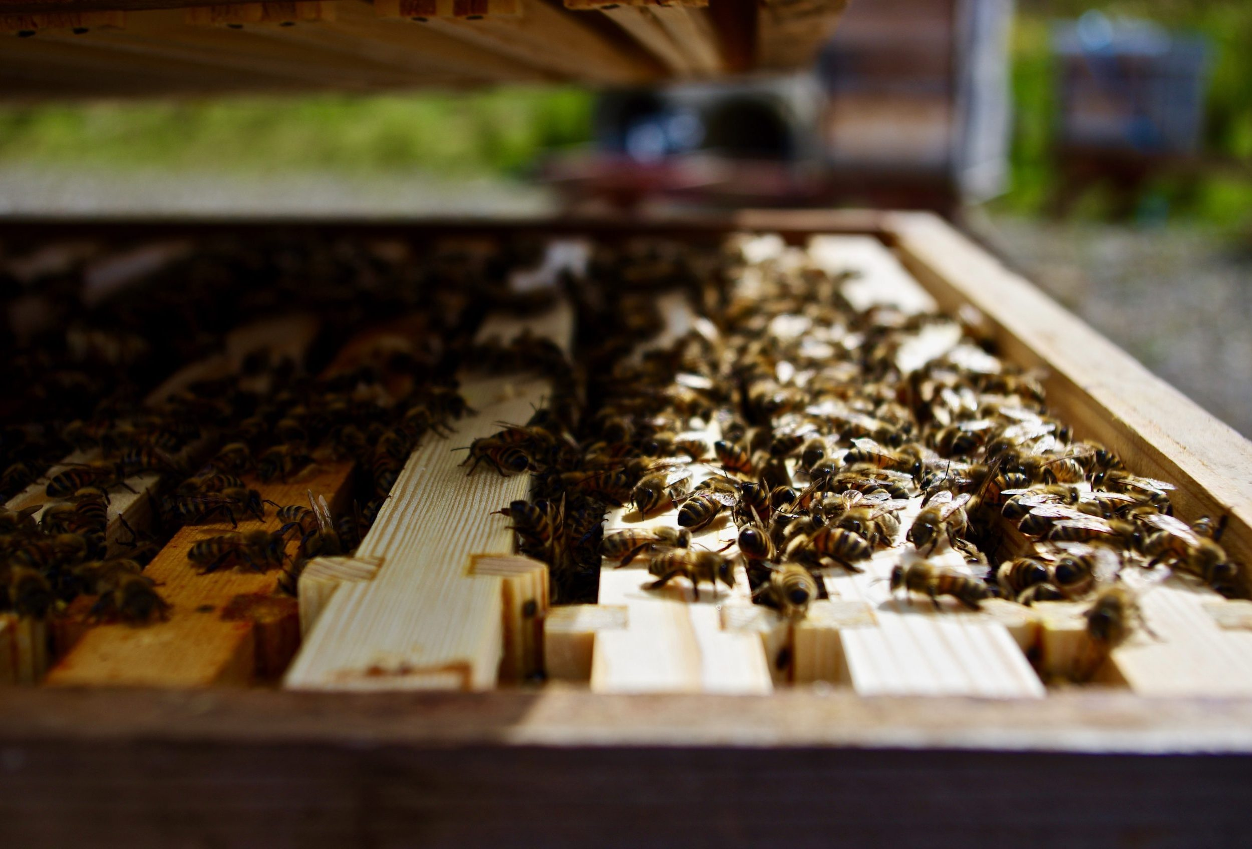 Buy Bees | Nucleus Colony