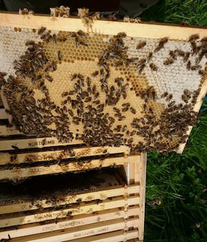 Nucleus Colony of Bees by Northumberland Honey Co