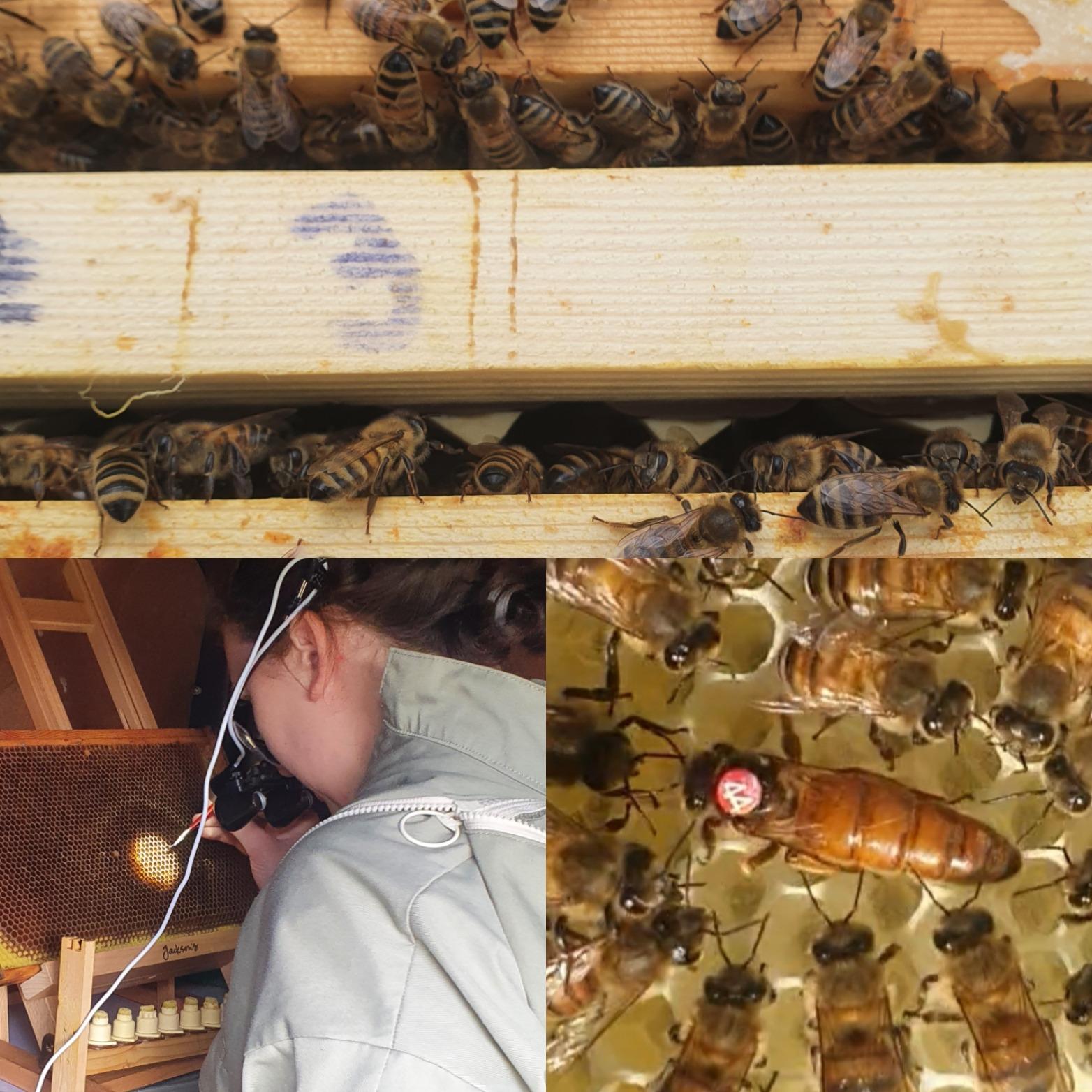 Queen Bees For Sale   Queen rearing Northumberland Honey