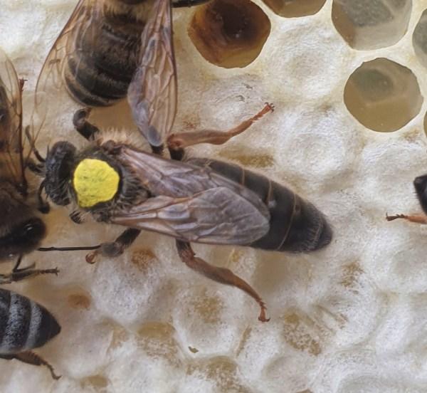 Virgin Queen   Dark Bee   British Black Bee