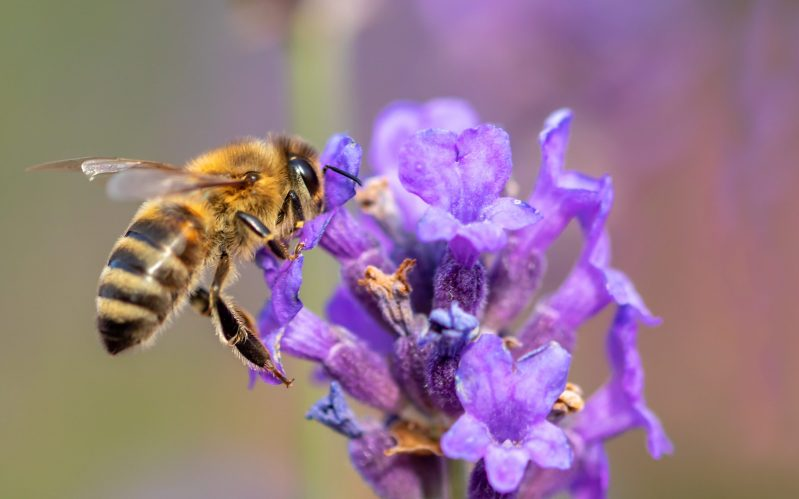 Honey Bee on Lavender Plant | Planting for Bees