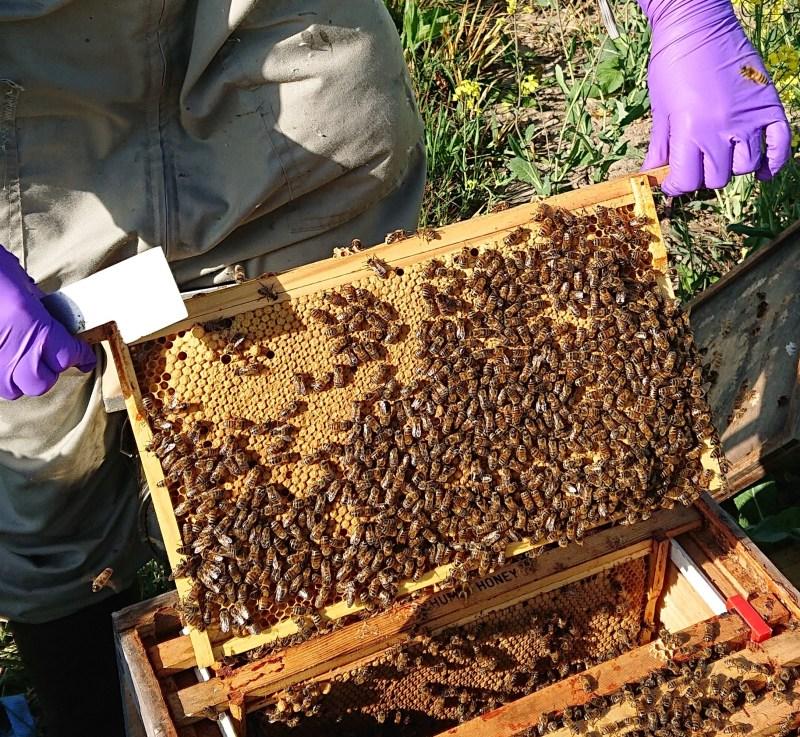 Bee Health and DASH   Disease Assurance Scheme in Honeybees