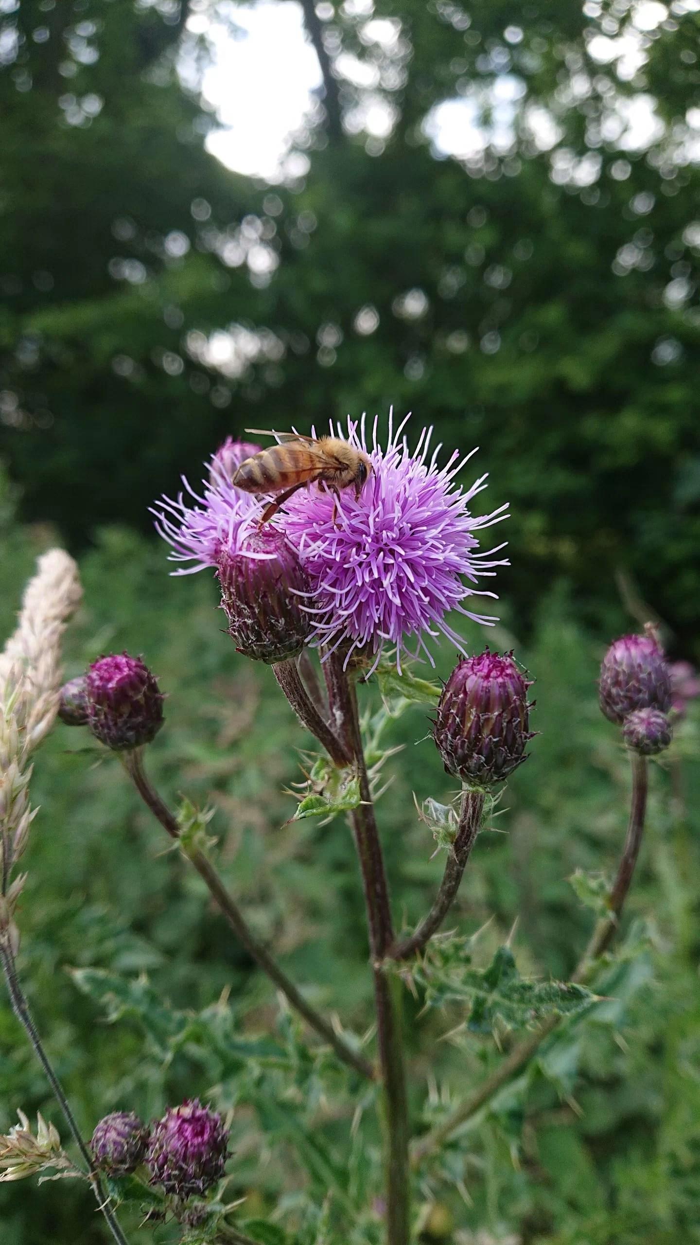 Honey Bee on Thistle | Runny Honey