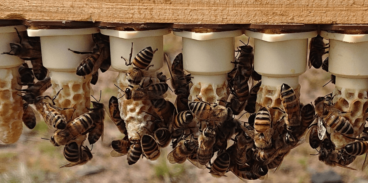 Bees For Sale | Mated Queen Bees | Bee Breeders