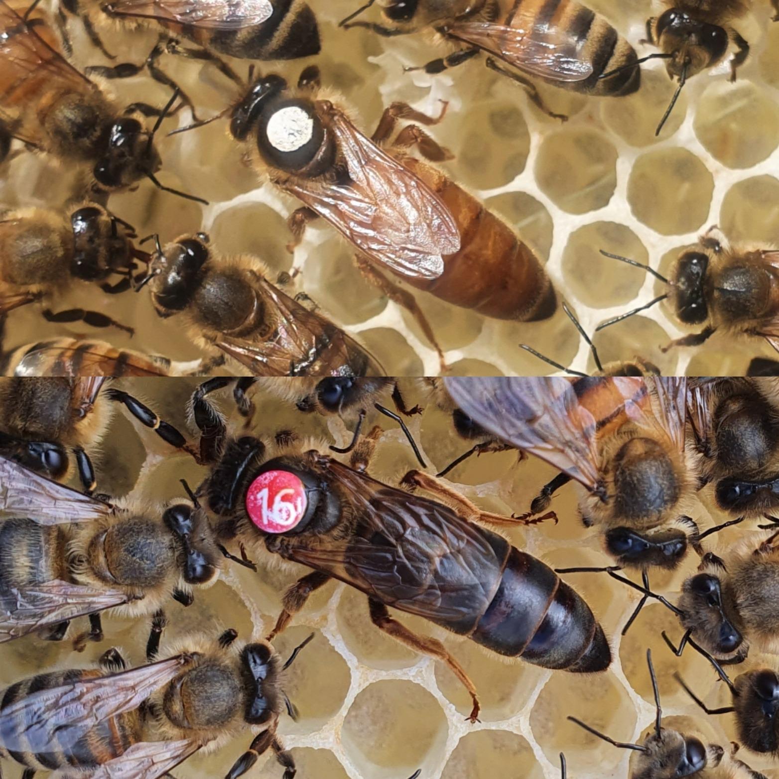 Buy Queen Bees | Queen Bees For Sale