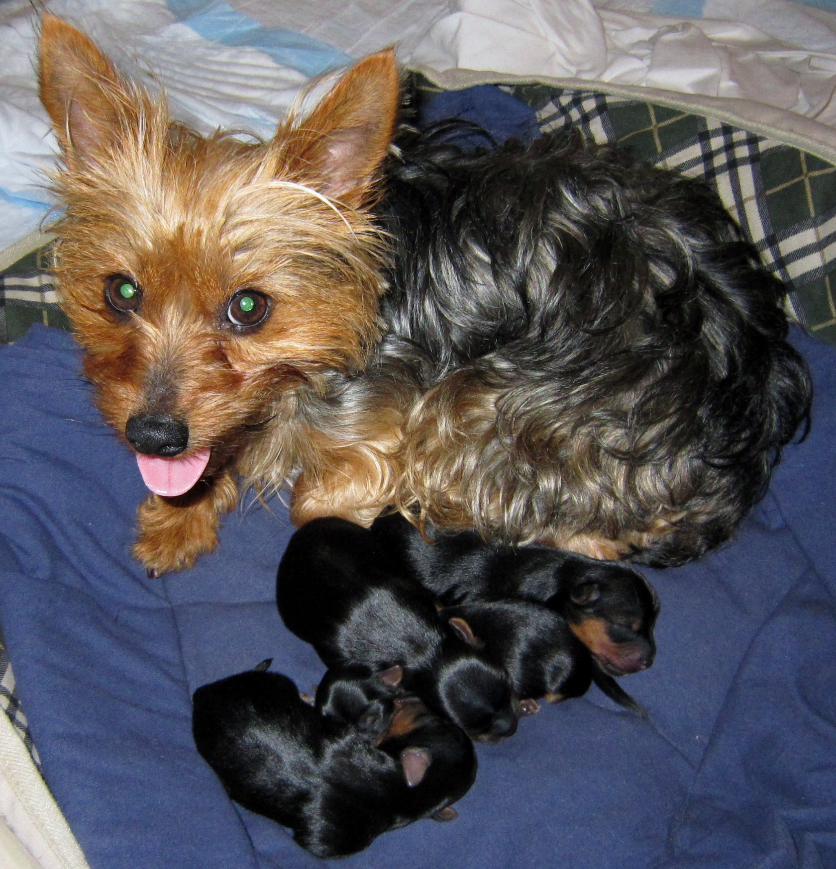 How Long Is A Yorkie Pregnant