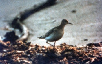 Buff-breasted sandpiper, 1982, by Jem Holding