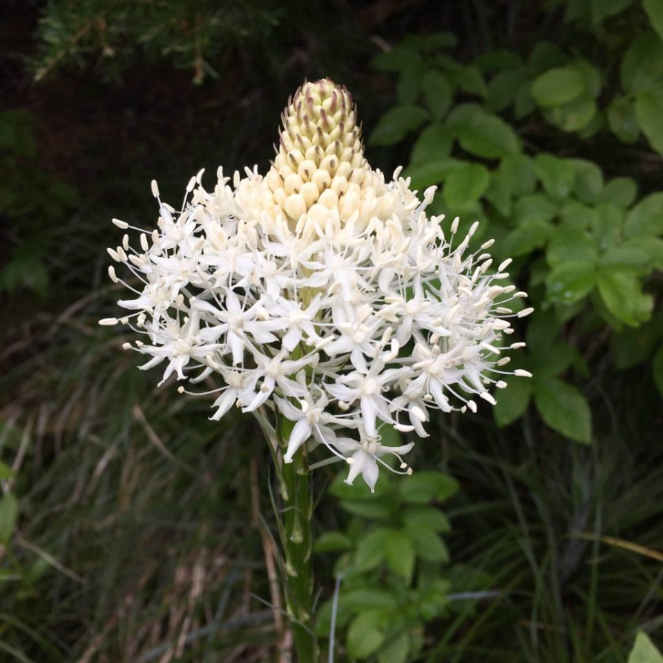 Xerophyllum tenax, a member of the the corn lily family, is known by several common names, including bear grass, squaw grass, soap grass, quip-quip, and Indian basket grass.
