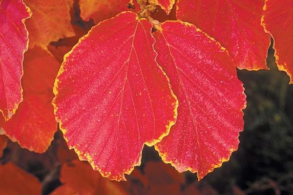 Mamamelis x intermedia 'Diane' in fall