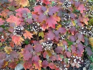 oakleaf hydrangea in fall