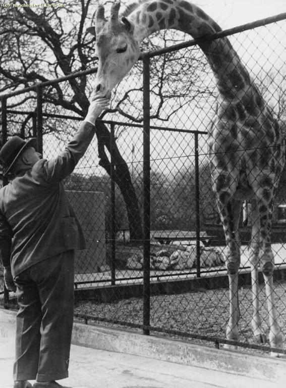 Giraffe at Belle Vue Zoological Gardens, 1946