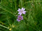 Marsh willowherb - wet grassland