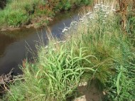 Re-vegetation of river banks with native flora once fenced off - reed canary grass and yarrow.