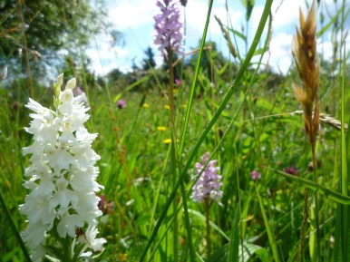2014-06-30 Sutton Bank - White Common Spotted Orchid - by Kirsty Brown
