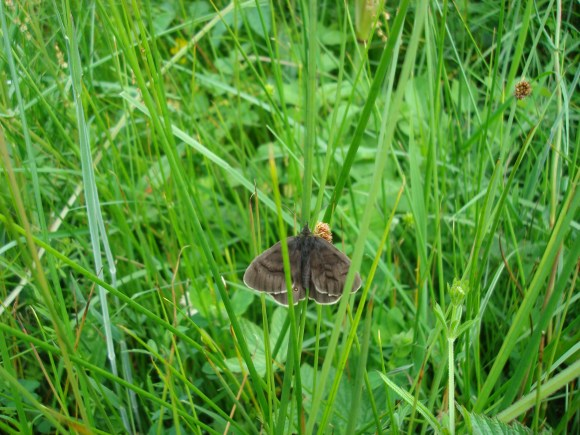 Ringlet butterfly, wet grassland in Westerdale - copyright Dawn Rothwell.