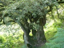 Hawthorn tree, Newtondale - copyright NYMNPA