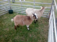 The goats are particularly looking well-groomed for their part in the live nativity scene!