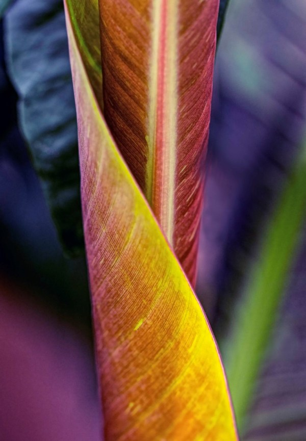 closeup photo of purple and yellow wrapped leaf titled Rejoice by Charles Dana