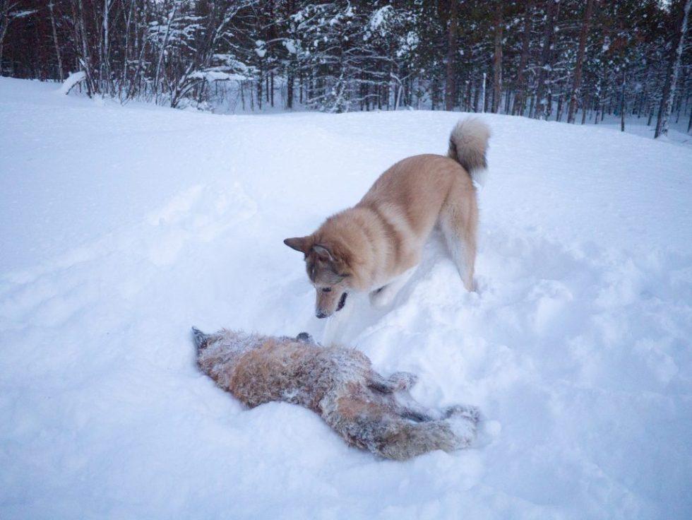 Odin med død rev