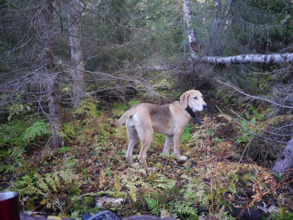 Russerstøveren Biiga på skogstrening i 2013 september