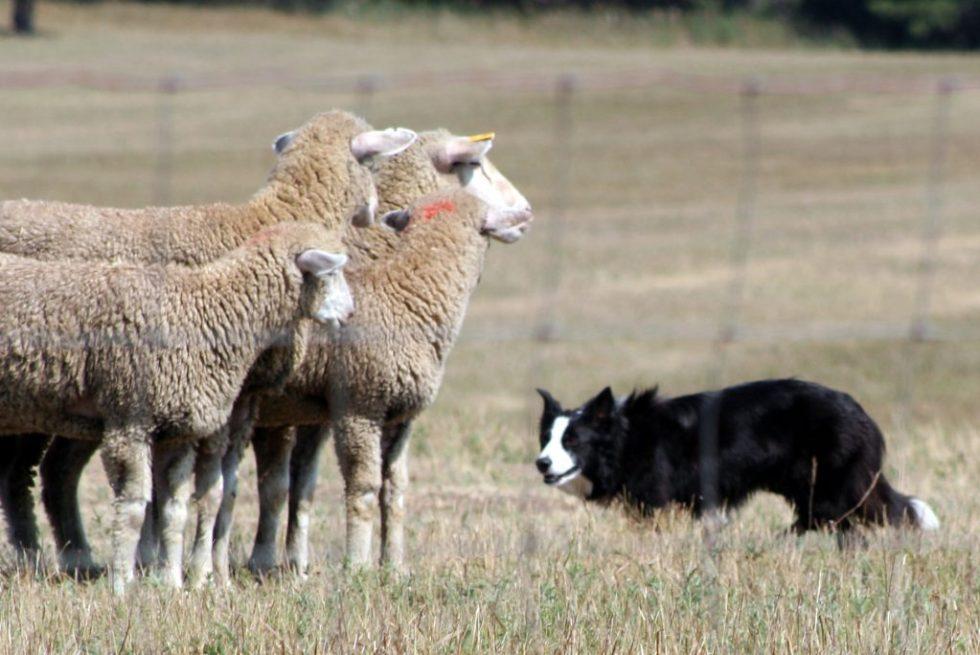 Gjeterhund vokter på saueflokk på gressmark