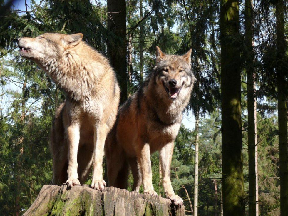 Ulvepar i skogen
