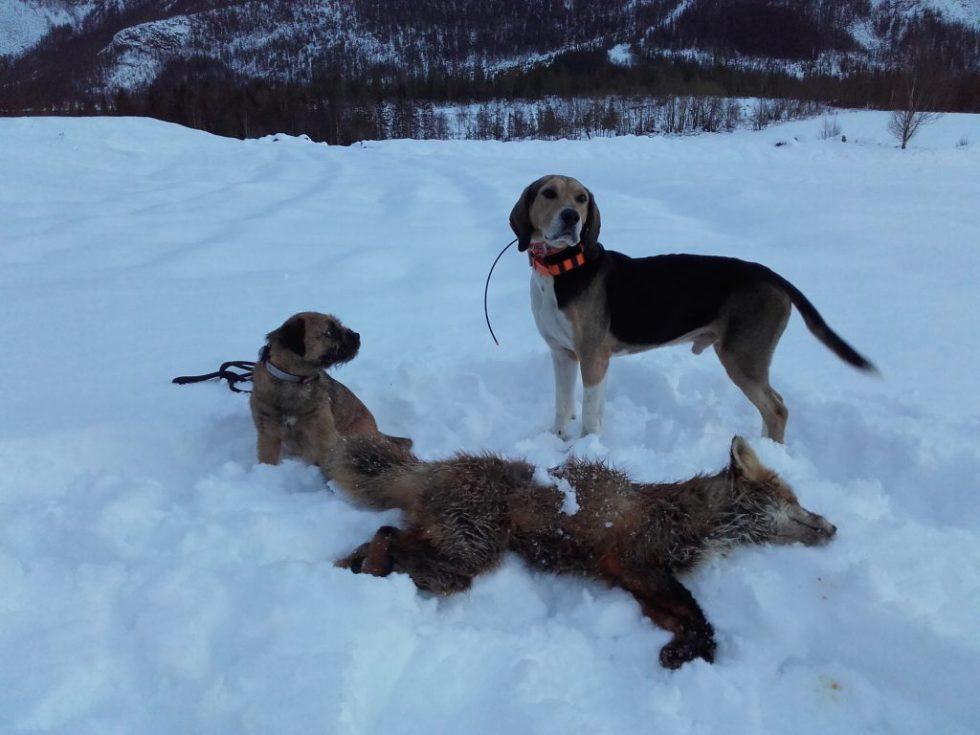 Dunker og Border terrier på revejakt