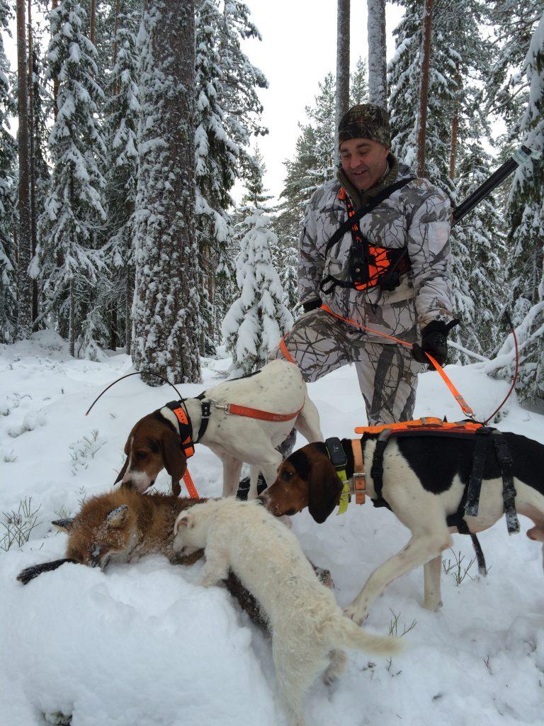 Treeing Walker Coonhound revejakt