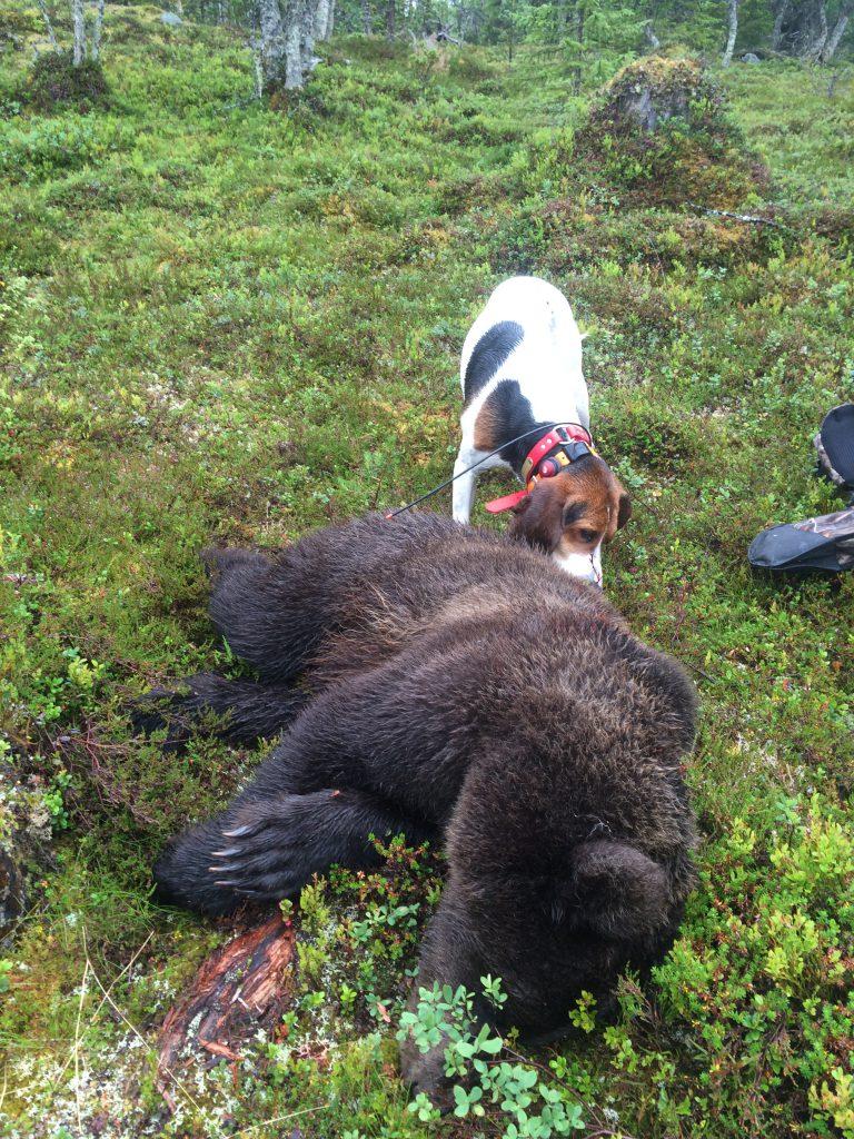 Treeing Walker Coonhound bjørnejakt