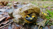 toad and salamander frog fungus