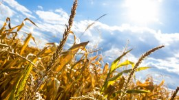 Drought Corn Grain Crops