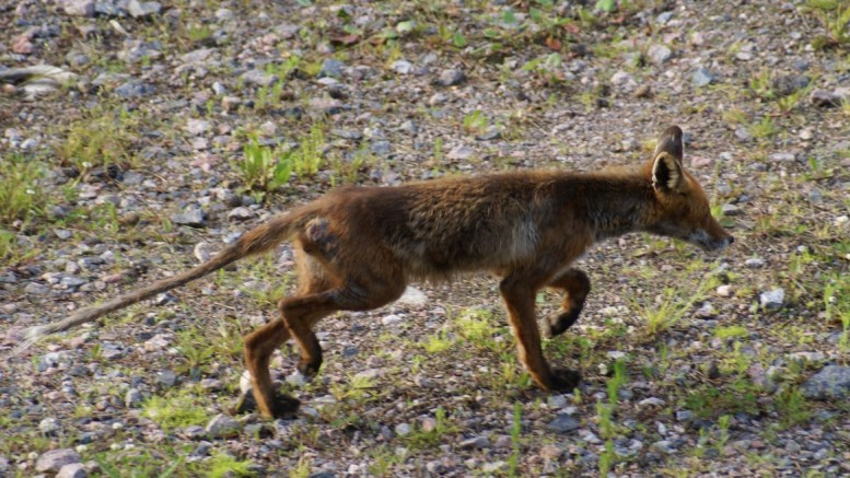 Red Fox Scabies