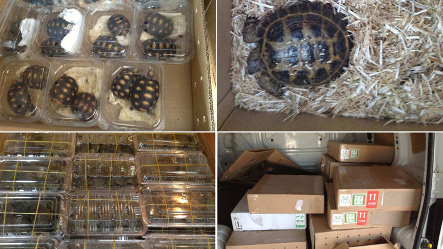 Dutchman trafficking turtles, Italian police photo