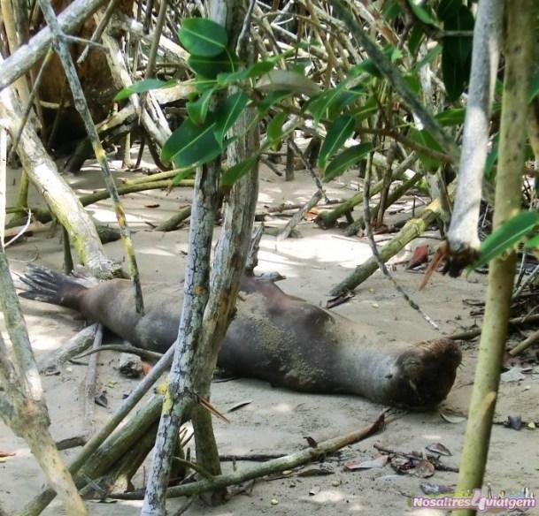 UN lobo marino dormía su siesta del mediodía. Isla Isabela (2013)