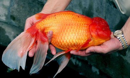 Saiba o que acontece quando você solta um peixe dourado em um lago ou rio
