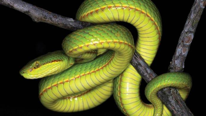 Científicos nombran nueva especie de serpiente en honor a Salazar Slytherin 1
