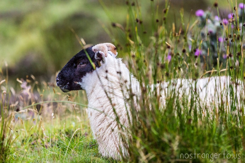 Scottish Sheep chilling' in the grass