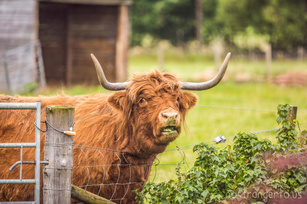This Scottish highland coo loved to eat grass clippings.