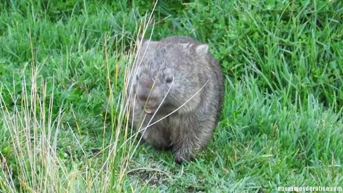 Nuestro amigo Wombat