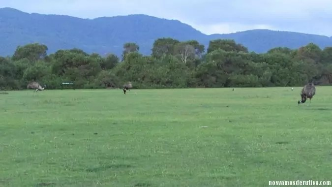 Emus merendando en Wilsons Promontory