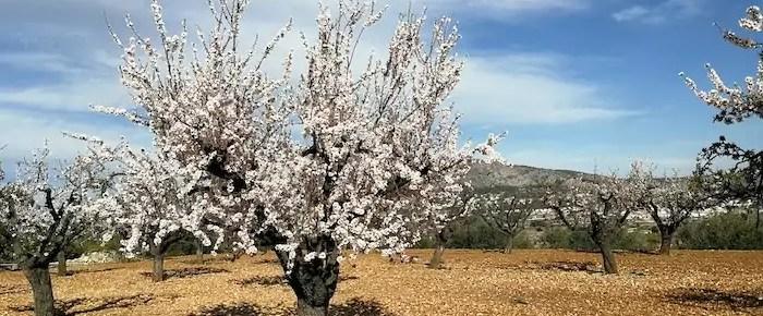 Descubre Alcalalí y su ruta del almendro en flor