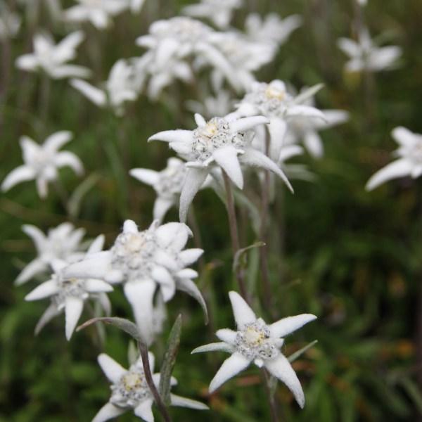 edelweiss alpes