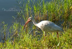 #8 White Ibis looking out for food