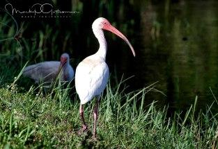 #2 White Ibis on Hunt