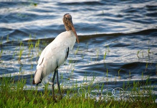 #6 Wood Stork on Hunt