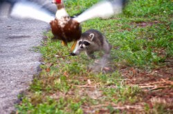 #12 Raccoon going after Muscovy Duck