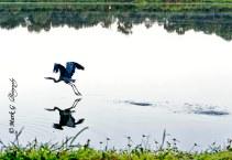 #14 Great Blue skimming