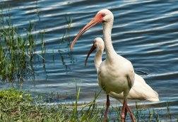 #34 White Ibis